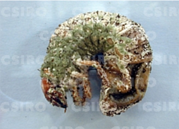BE2765 - Greyback cane beetle larva infected with metarhizium